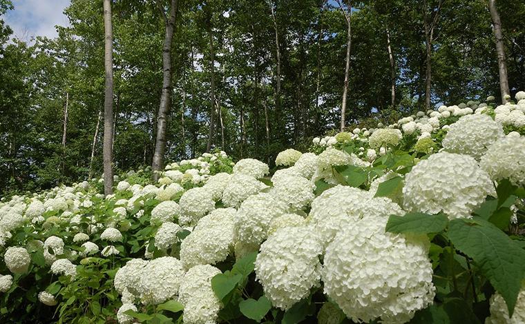園内を白く染めるアナベルの花「国営滝野すずらん丘陵公園」1