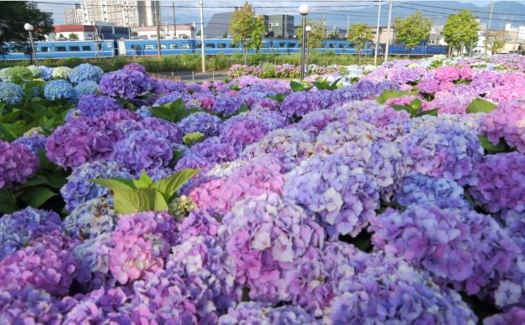 紫陽花に囲まれて1