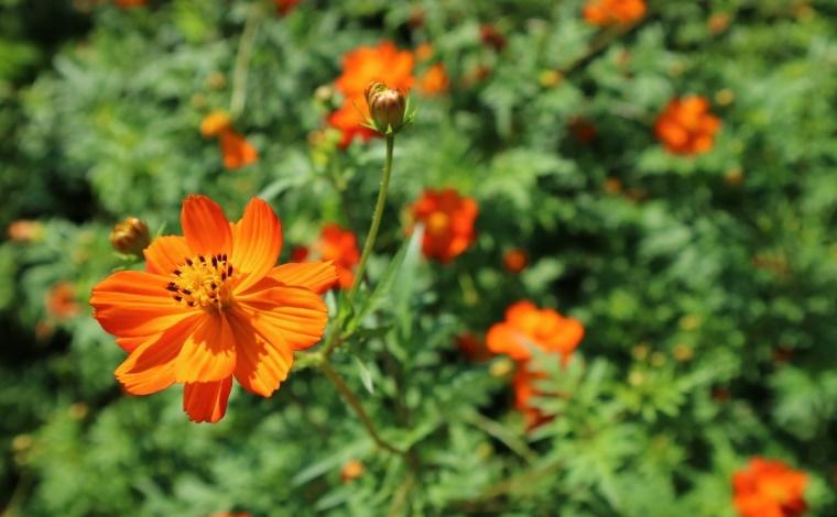 その2:生駒高原に咲き誇る、100万本にも及ぶコスモス畑(小林市)2