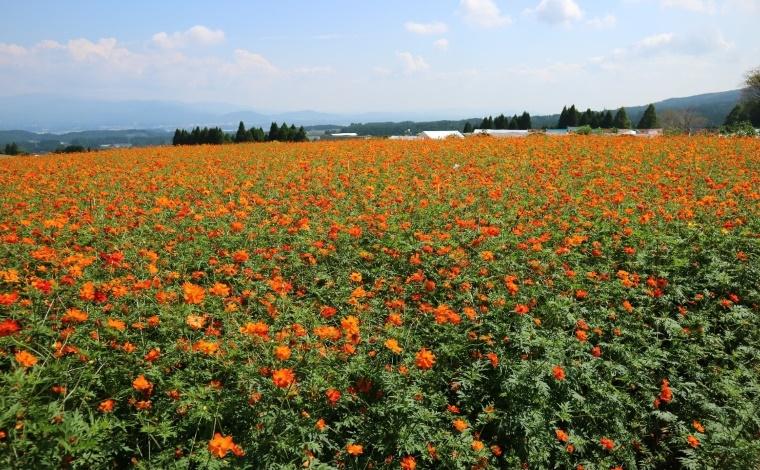 その2:生駒高原に咲き誇る、100万本にも及ぶコスモス畑(小林市)4