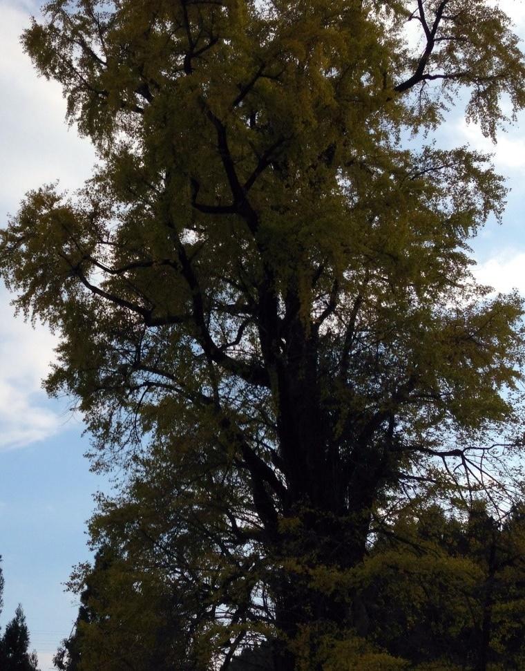 その3:樹齢800年の去川の大銀杏。夜にはライトアップも!(宮崎市)1