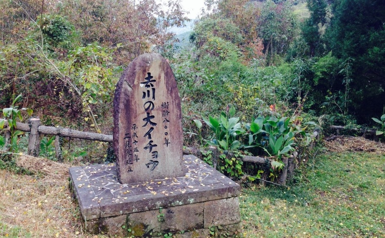 その3:樹齢800年の去川の大銀杏。夜にはライトアップも!(宮崎市)2