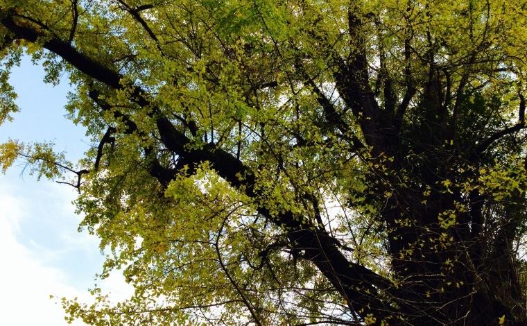 その3:樹齢800年の去川の大銀杏。夜にはライトアップも!(宮崎市)3
