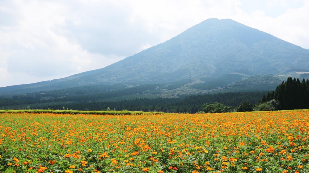 その2:生駒高原に咲き誇る、100万本にも及ぶコスモス畑(小林市)1