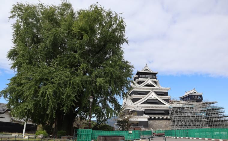 大銀杏と熊本城天守閣