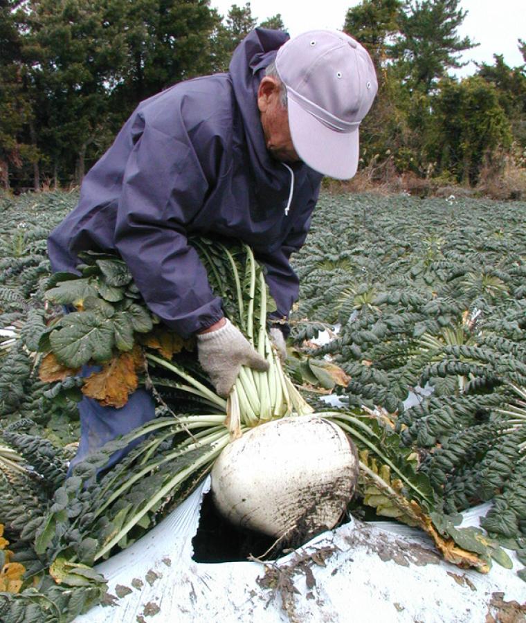 桜島大根の収穫